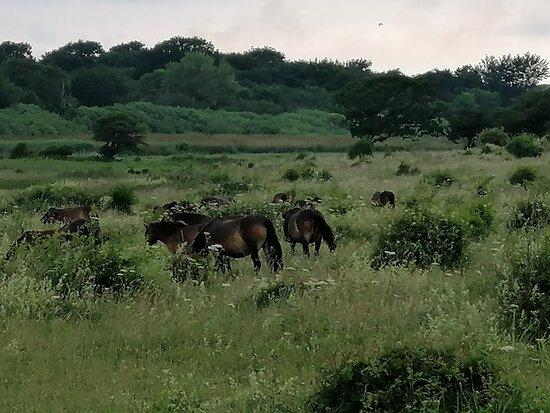 Wild horses at Dovns Klint