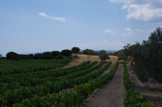 Vineyards at the family farm.