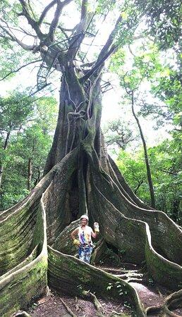 Giant Ficus tree