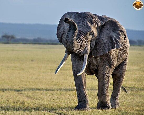 Amboseli National Park, Kenia: Good morning from Amboseli NP-Kenya to everybody on board for African Safari. A spectular experience worthwhile for an adventure #VisitKenya #VisitUganda #VisitRwanda  Discover more: www.snoweawildlifesafaris.com Email: info@snoweawildlifesafaris.com, Contact us: +256 393 248 813  Follow @SnoweaSafaris: for every latest-updates about visiting Uganda 🇺🇬 Rwanda 🇷🇼 and Kenya 🇰🇪
