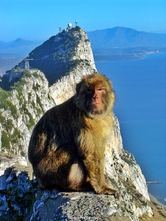 Gibraltar Town: Have you ever had a monkey take something from you? At the top of the Rock of Gibraltar you will be able to see countless monkeys ruling as king of the rock! They are a thriving group of wild monkeys originally from the Atlas and Rif Mountains of Morocco. No one knows just how they were brought over from the African continent to the European continent, but most likely it was due to human activity. This troop or barrel of Barbary macaque monkeys is the only wild population of monkeys in Europe.