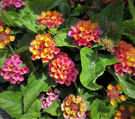 Keep the mall beautiful: multi-colored kalanchoes make it cheerful outdoors! July 2021