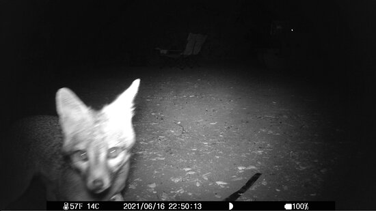San Juan Capistrano, Califórnia: We put out a couple of trail-cams while camping at site #2 in June '21. This fox noticed it right away - before checking out the rest of our  gear sitting on the picnic table - triggering a motion sensitive lamp on the table which didn't seem to phase it at all. (There's a video - don't see how to upload it..)