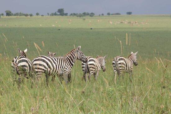 Kitgum, Uganda:  plains zebras or mountain zebras enjoying there stay in open savanna grassland