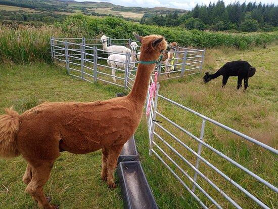 Galloway Alpacas
