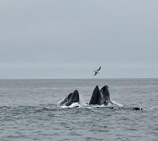 Humpbacks lunge feeding