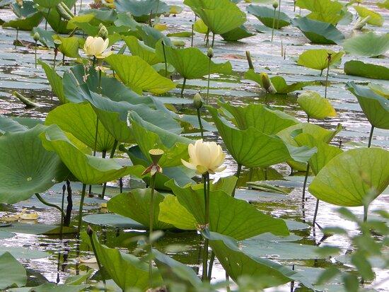 Lotus Garden Park