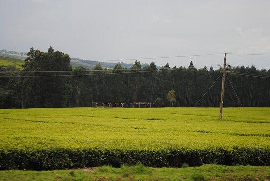 Kericho Tea Farms
