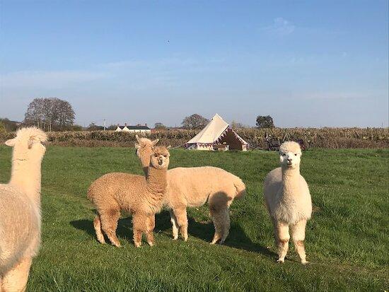 Pickney Farm Alpacas