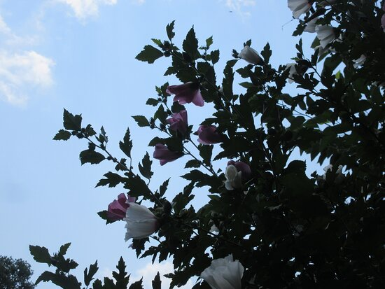 Peoria, IL: Rose of Sharon: Love Summer Evenings ... August 2021