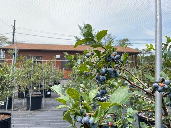 Blueberry Factory Gifu
