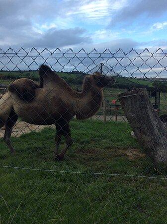 Poor camel