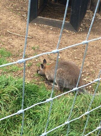 Poor wallaby