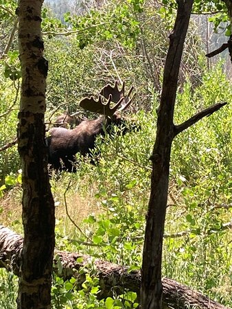 Littleton, CO: Moose sighting in Rocky Mountain National Park