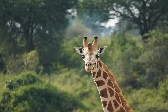 Nosy giraffe in Kidepo