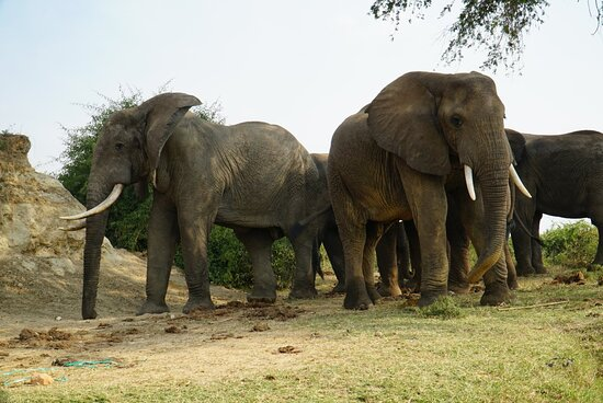Up close with Elephants in the Kazinga channel
