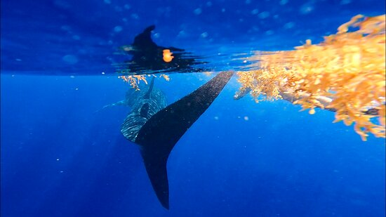 Whale Shark and Snorkeling Adventure from Isla Holbox: Whale shark trying to escape human contact