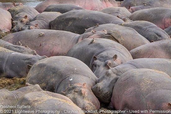Hippo Pool, Serengeti National Park, Tanzania