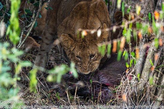 Lion Eating Its Kill, Serengeti National Park, Tanzania
