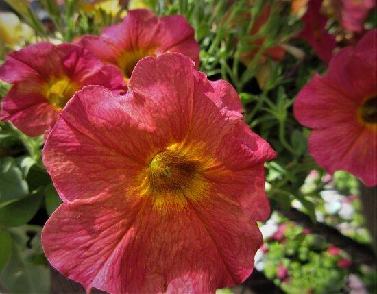 Petunias: Have a Joyful Sunday! Peoria Garden Centers. August 2021