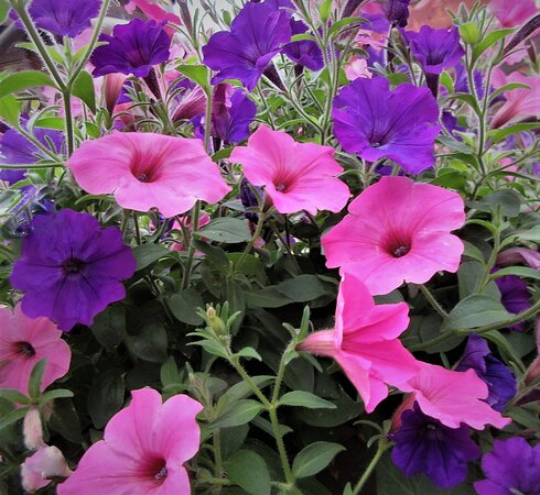 Petunias: Don't Worry, Be Happy! Peoria Garden Centers. August 2021