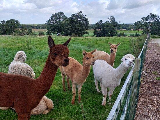 The freindly Alpacas