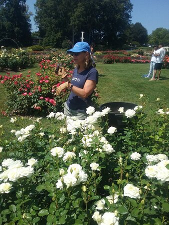 Roses being trimmed