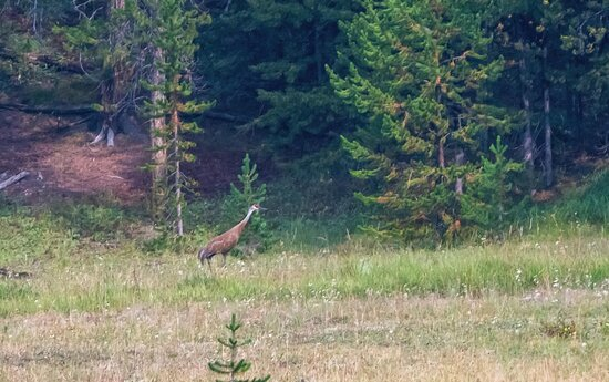 Roam Summer Safari Tour Out of West Yellowstone: Sandhill crane