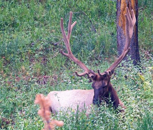 Roam Summer Safari Tour Out of West Yellowstone: Wapiti elk