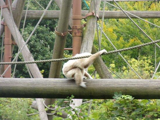 White Gibbon
