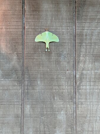 A luna moth rests on the side of the Nature Center.