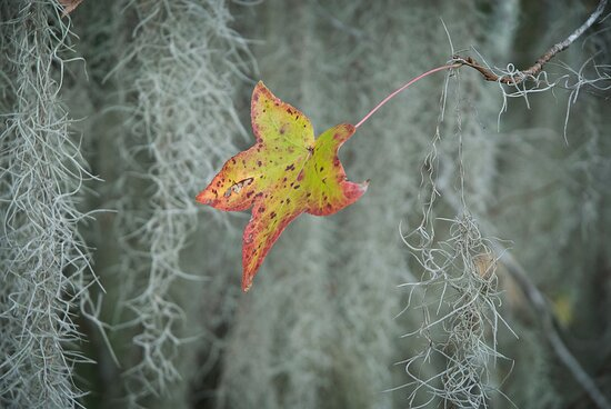 Among the subtle colors of autumn in coastal Georgia is the sweetgum, here standing out from the silver Spanish moss.