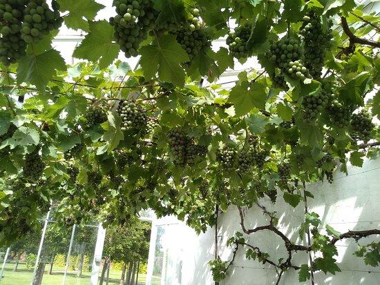 Grape vines in the Victorian greenhouse