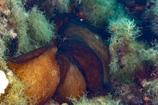 Accouplement de lièvres de mer