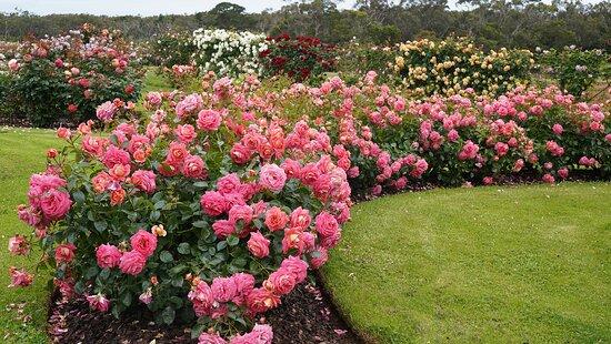 Treloar Roses