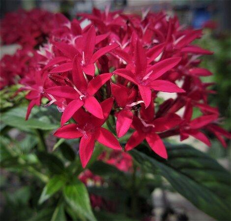 Пеория, Иллинойс: Blazing Spiky Blooms: Fiery Pentas. Enjoy Yourself! Garden Centers. Peoria IL, August 2021