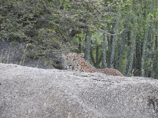 """Jawai Bandh, India: Most welcome To - JEEWDA SAFARI CAMP"""" -https://www.instagram.com/invites/contact/?i=yay5foh2xjzx&utm_content=2pzoymb  Safari -Morning-5:30am to 8:30am Evening 4:30pm to 7:30pm  Location- https://maps.app.goo.gl/foXeyCga4Qc6ipLC8  Thank u For Contecting  M'v Group Brother JAWAI """""""