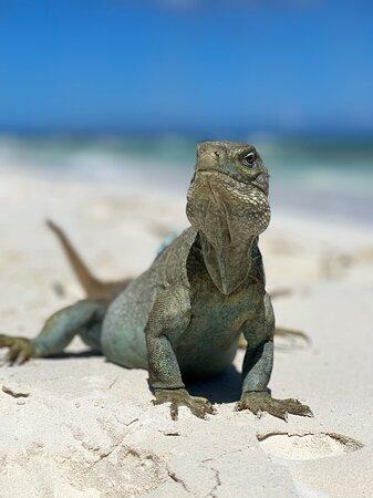 Turks-och Caicos: Our friend from Iguana Island