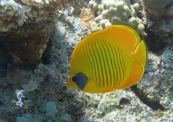 Hurghada, Ägypten: Poisson papillon jaune