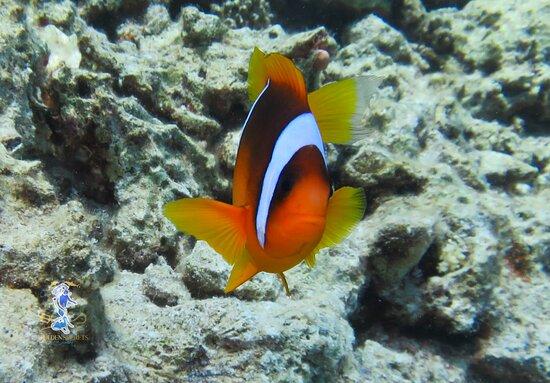Hurghada, Ägypten: Amphiprioninae