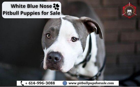Austin, TX: White Blue Nose Pitbull Puppies for Sale