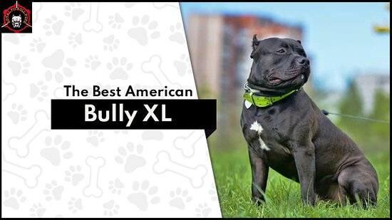 Austin, TX: The Best American Bully XL and Pitbull Puppies