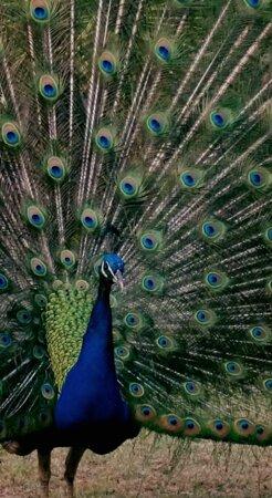Our resident peacock in full bloom
