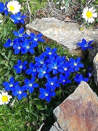 Alagna Valsesia, Italy: Monte Rosa,Passo dei Salati mt.2936: Le piccole genziane bavaresi luglio 2021