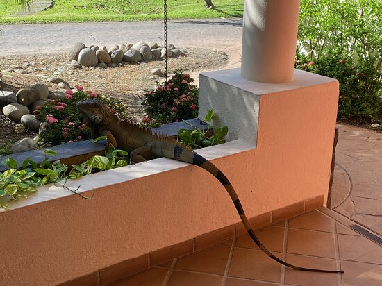 So many iguanas everywhere!