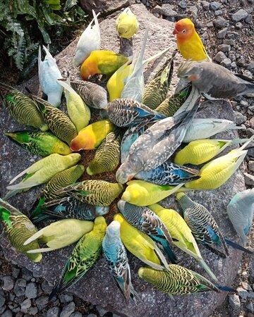 Visita el aviario donde encontrarás 3 especies de aves, ninfas, agapornis y periquitos australianos ♥