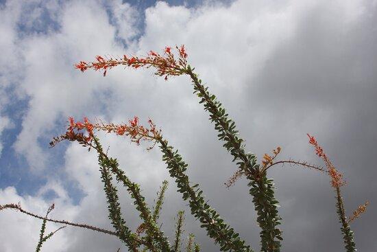 Ocotillo blooms in the garden.