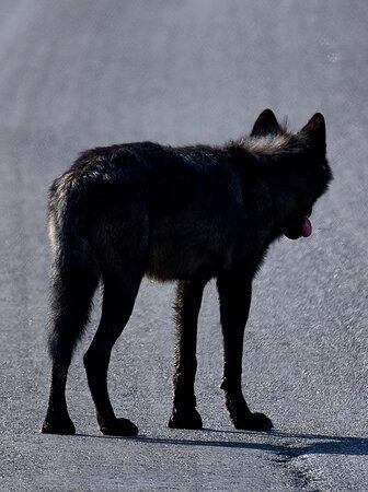 Wolf & Wildlife Private Tour: Black wolf