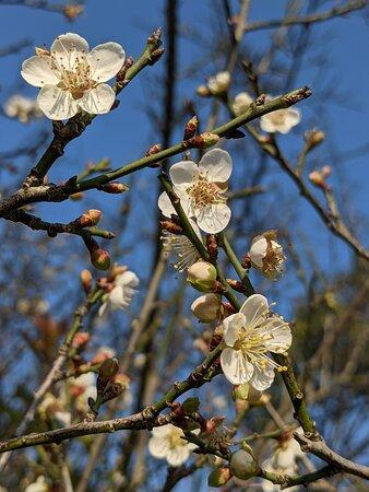 三秀園老梅樹開花。