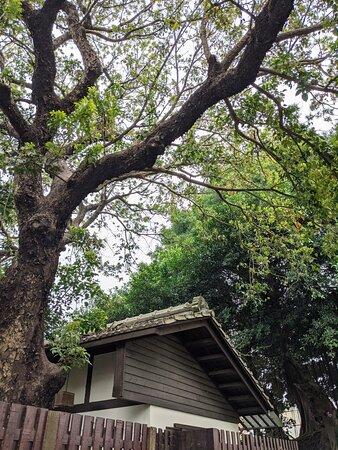 清河堂宅邸前遮蔽屋簷的老茄冬樹。